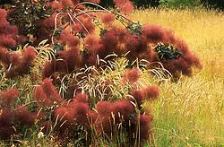 Cotinus coggygria amongst the meadow grass - Smoke bush