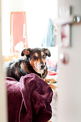 The look if disappointment from the door watching dog when the door opens and its not who he wants to see....<br /> <br /> 02 Mayl 2017 <br />  Copyright Paul David Drabble<br />  www.pauldaviddrabble.co.uk