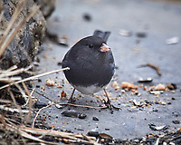 Dark-eyed Junco feeding below the bird feeder. Image taken with a Nikon D5 camera and 600 mm f/4 VR lens (ISO 640, 600 mm, f/4, 1/640 sec).