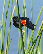 WETLAND MARSH: BIRDS