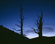 CAEWM_04 - USA, California, Inyo National Forest, Ancient bristlecone pines silhouetted at dusk with crescent moon, Ancient Bristlecone Pine Forest Area.