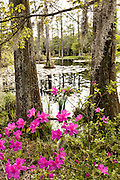 Azalea shrubs blooming along the blackwater bald cypress and tupelo swamp during spring at Cypress Gardens April 9, 2014 in Moncks Corner, South Carolina.