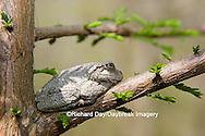02449-005.04 Gray Treefrog (Hyla versicolor) on Bald cypress tree, Little Black Slough, Cache River SNA, IL