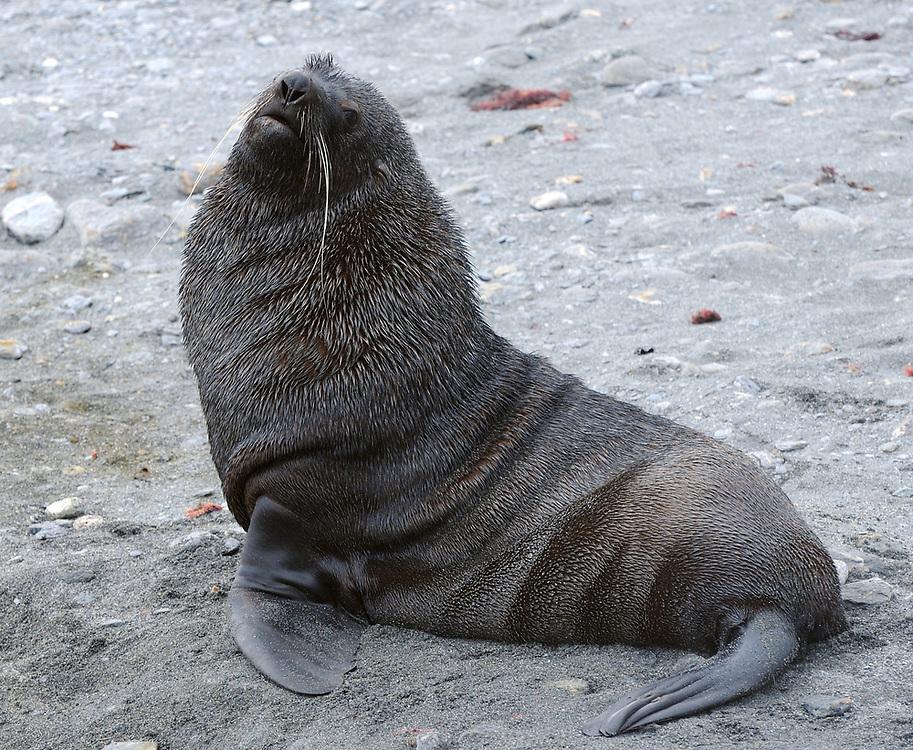 Male  Antarctic fur seal (Arctocephalus gazella),. Shingle Cove, Coronation Island, South Orkney Islands, Antarctica. 28Feb16