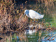 Little Egret (Egretta garzetta) This small white heron is native to warmer parts of Europe and Asia, Africa and Australia. It eats crustaceans, fish and insects that it catches in shallow water. Photographed at the Hula Valley, Israel
