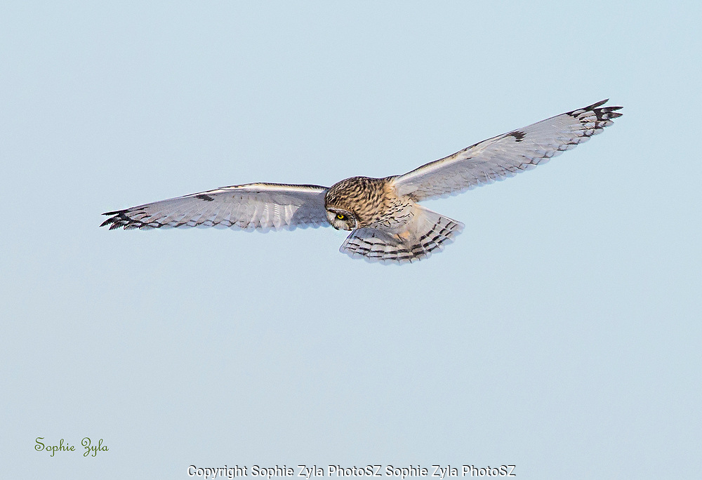 Short-eared Owl sees a possible prey