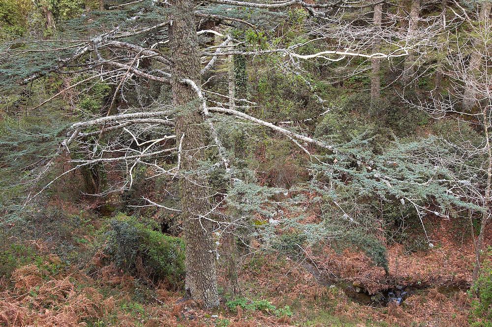 Cyprus Cedar (Cedar libani) forest, Cedar valley, Troodos mountains, Cyprus