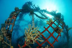 """Global Coral Reef Alliance,  """"Das Projekt"""", schoen bewachsenes kuenstliches Riff, Artificial reef full of corals and sponges, Global Coral Reef Alliance, Pemuteran, Bali, Indonesien, Indopazifik, Bali, Indonesia Asien, Indo-Pacific Ocean, Asia"""