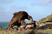In einer Brutkolonie von Eselspinguinen (Pygoscelis papua) ist ein Falklandkarakara (Phalcoboenus australis) fündig geworden: der Raubvogel erbeutet unter anderem Küken verschiedener Seevogelarten, verschmäht aber auch Aas nicht und hilft so, die Kolonien frei von toten Vögeln zu halten. | In a breeding colony of Gentoo Penguins (Pygoscelis papua) the Striated Caracara (Phalcoboenus australis) has found its meal. The Caracara is a predator and scavenger all the same and by removing the dead chicks, that can be found in every seabird colony, it helps reducing the risk of infections in the colony caused by fouling carcasses.