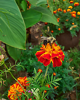 Bumble Bee on a Marigold. Image taken with a Leica SL2s camera and Loawa 24 mm f/14 macro lens.