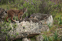 Iberian Lynx (Lynx pardinus) female.Sierra de Andújar Natural Park, Mediterranean woodland of Sierra Morena, north east Jaén Province, Andalusia. SPAIN.RANGE: Iberian Penninsula of Spain & Portugal..CITES 1, CRITICAL - DANGER OF EXTINCTION.Fewer than 200 animals in the wild. There is a reduced genetic variability due to their small population. They have suffered due to hunting, habitat loss and road accidents, but the most critical threat today is the reduced numbers of wild Rabbits (Oryctolagus cuniculus) within the lynx's range. The rabbits are the principal food source of the lynx and they are suffering from deseases such as Myxomatosis & Rabbit haemoragic virus. The lynx is also suffering from deseases such as feline leukaemia.A medium sized cat weighing 12-15kgs, Body length 90cm, Shoulder height 45-50cm. They have a mottled fur pattern, (3 varieties of fur pattern found between the different populations and distinguishing them geographically)  short tail, ear tufts and are bearded. They are territorial cats although female cubs have been found to share their mother's territory. Mating occurs in Dec/Jan and cubs born around April. They live up to 13 years...Mission: Iberian Lynx, May 2009