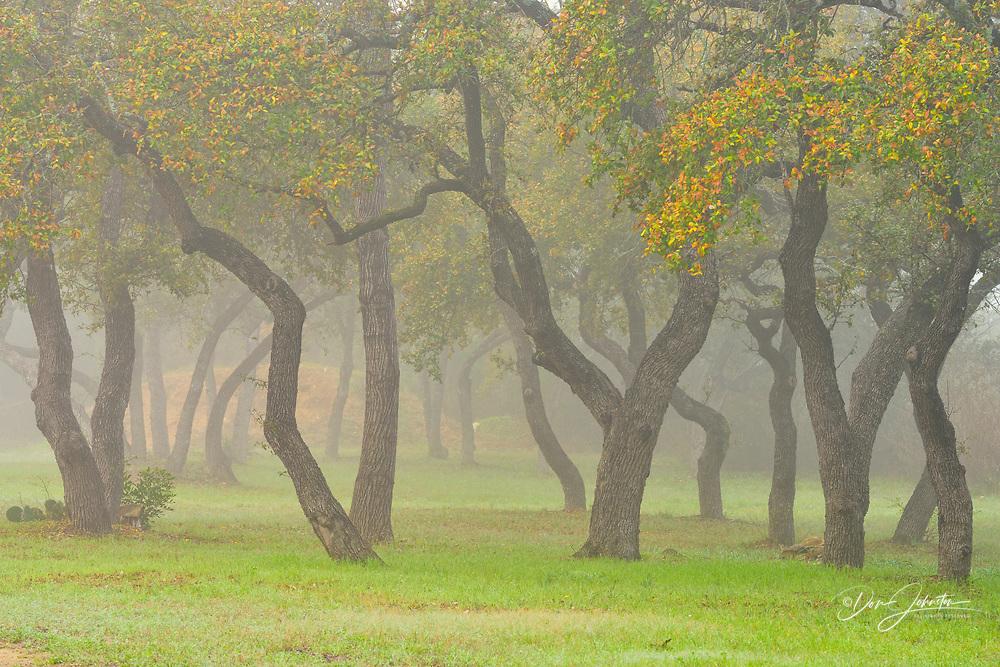 Oak trees in morning fog at Emerald Point Marina, Austin, Texas, USA