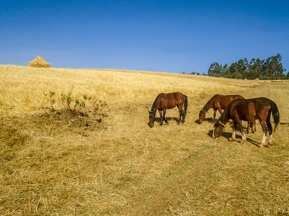Horses in the Fields by Bashedu Arasa