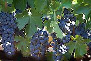 Ripe wine grapes on vine ready to harvest