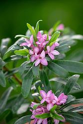 Daphne × transatlantica Pink Fragrance syn. 'Blapink'