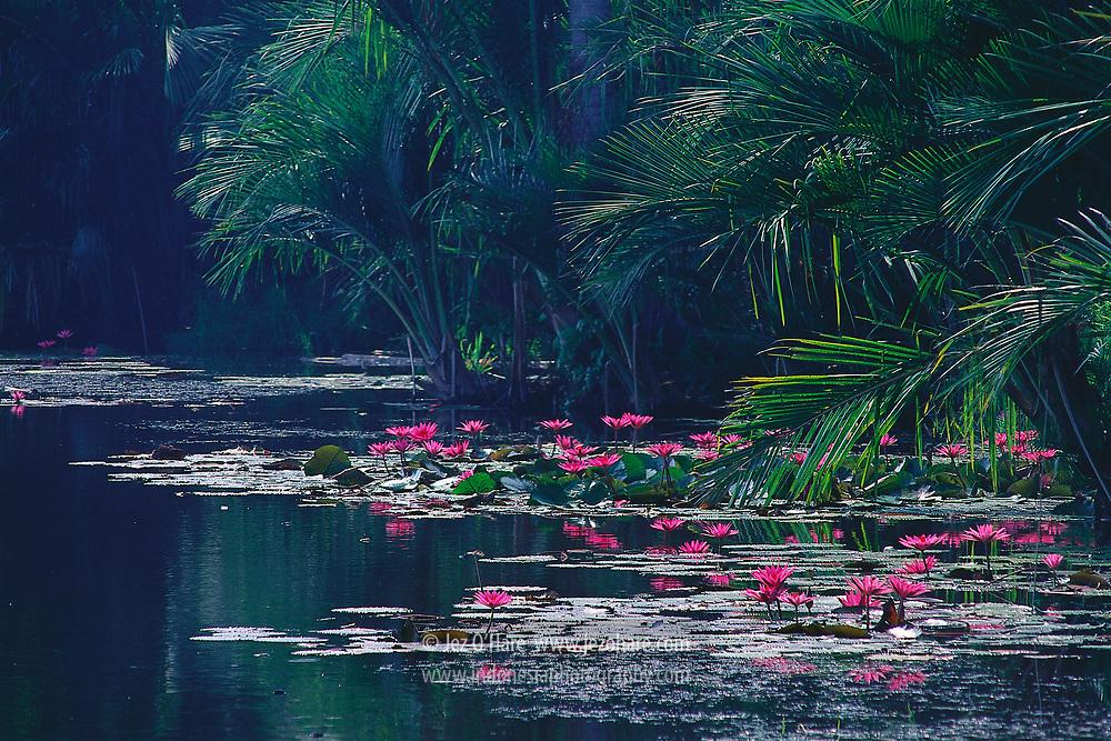 Water Lilies (Nymphaea) on Dendam Tak Sudah Lake, Bengkulu, Sumatra, Indonesia.