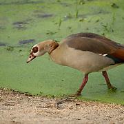 Egyptian Goose along green algae pond, Londolozi Game Reserve, Sabi Sand Game Reserve, South Africa