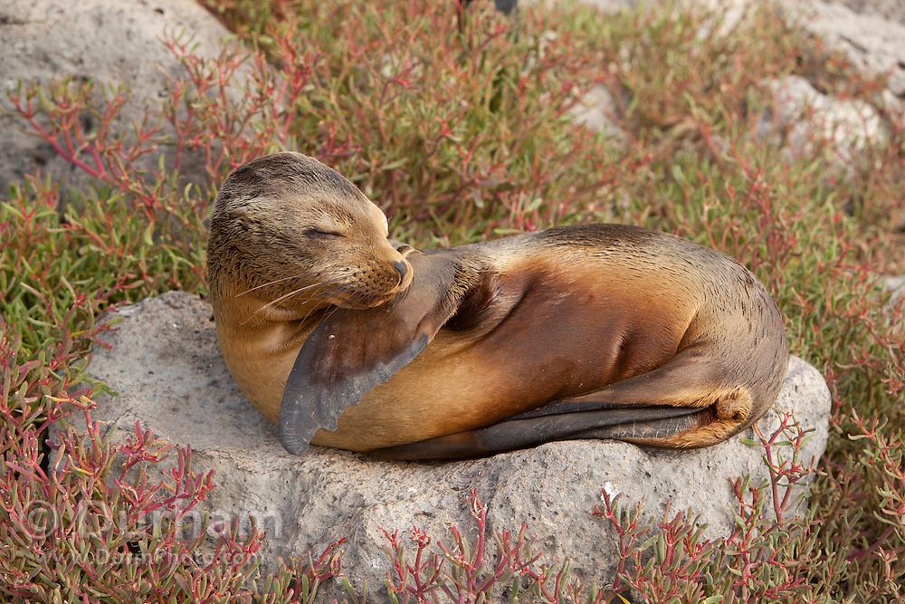 A young galapagos sea lion (Zalophus californianus) on South Plaza Island, Galapagos archipelago - Ecuador.