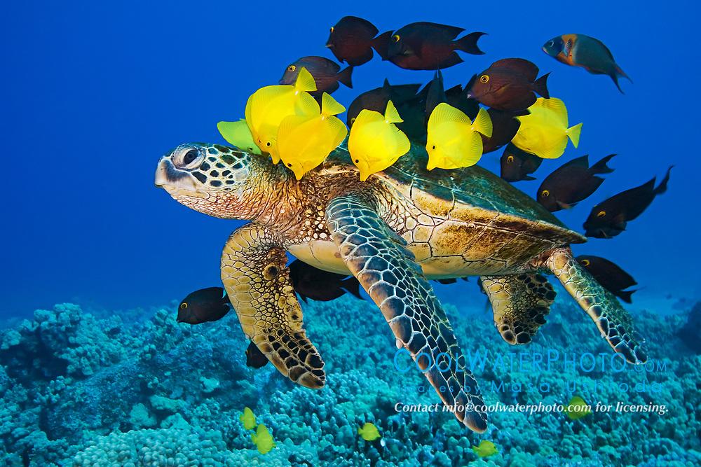 green sea turtle, Chelonia mydas, endangered species, being cleaned by yellow tang, Zebrasoma flavescens, endemic gold-ring surgeonfish, Ctenochaetus strigosus, and endemic saddle wrasse, Thalassoma duperrey, Kona Coast, Big Island, Hawaii, USA, Pacific Ocean