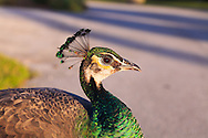 A female Indian peafowl (Pavo cristatus), or peahen, at Crandon Park, site of an open-air avian zoo on Key Biscayne, Florida. WATERMARKS WILL NOT APPEAR ON PRINTS OR LICENSED IMAGES.