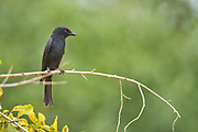 Fork-tailed drongo (Dicrurus adsimilis). This is an aggressive bird that has a harsh crow-like cry. It feeds on insects, surveying the ground from a perch. This fork-tailed drongo is found in non- forested areas of the tropics, subtropics and temperate zones of the Afrotropics.