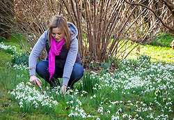 Digging up and dividing clumps of snowdrops - Galanthus nivalis - soon after they have flowered - known as 'in the green'