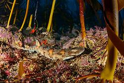 Haploblepharus edwardsii, Puffotter Katzenhai im Tang, Puffadder shyshark in seaweed, False Bay, Simons Town, Südafrika, Indischer Ocean, False bay, Simons Town, South Africa, Indian Ocean