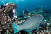Bumped Parrotfish, the largest in the family at over 4ft long, mill about the reef, getting cleaned by Wrasses<br /> <br /> Shot in Indonesia