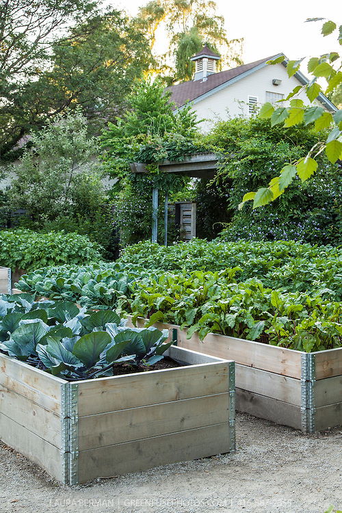 Red cabbages, beets, Brussel sprouts and potatoes growing in planters in a rasied bed vegetable garden.