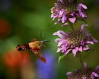 Hummingbird Clearwing moth feeding on a Lemon Mint flower. Image taken with a Nikon D5 camera and 80-400 mm VRII lens (ISO 360, 400 mm, f/8, 1/800 sec).