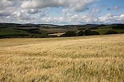 Field of Barley near Longformacus, Scottish Borders, Scotland