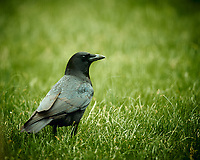 American Black Crow. Image taken with a Nikon D4 camera and 600 mm f/4 VR lens (ISO 560, 600 mm, f/4, 1/200 sec).