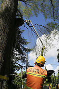 Employees of Seattle Department of Transportation prune large at-risk branches from trees lining the street in the Unversity District, Seattle, Washington on May 3, 2007.