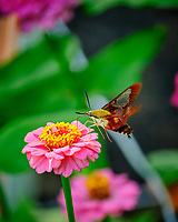Clearwing Hummingbird Moth (Hemaris thysbe) Feeding on a Pink Zinnia Flower. Image taken with a Fuji X-T2 camera and 100-400 mm OIS lens