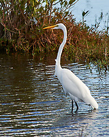 Great Egret (Ardea alba). Black Point Wildlife Drive, Merritt Island Wildlife Refuge. Merritt Island, Brevard County, Florida. Image taken with a Nikon D3 camera and 80-400 mm VR lens.