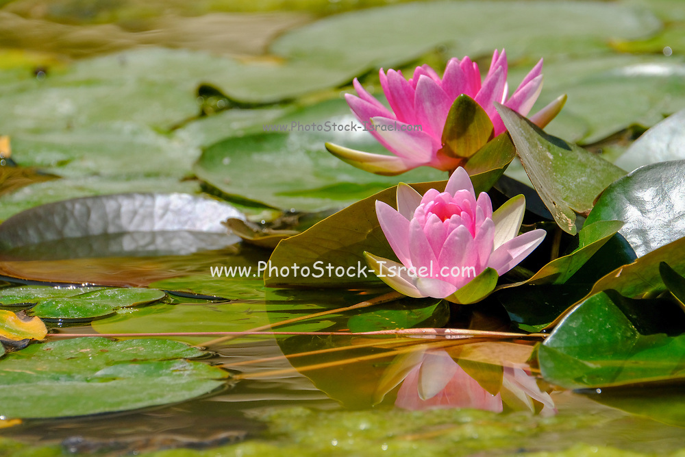 flowering pink waterlilies in a pond. Photographed in Israel in May