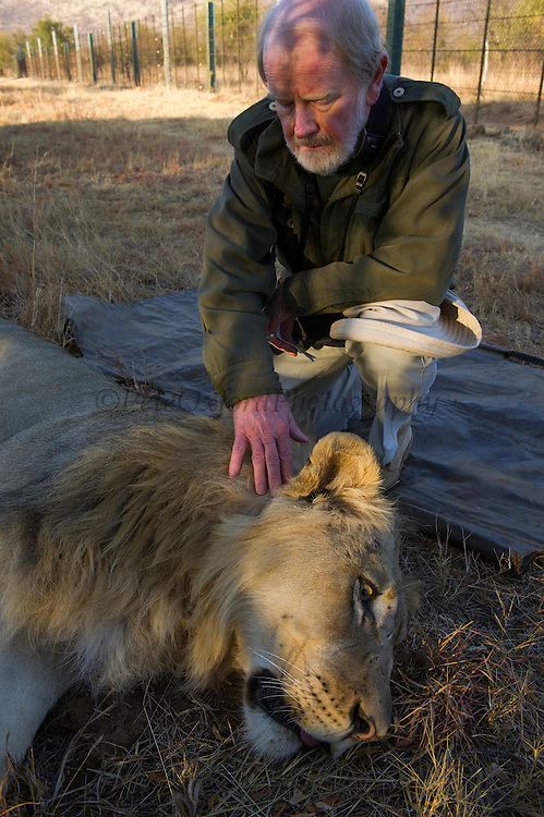 Lion darted for relocation to Malawi (Panthera leo) & Dr Anthony Hall-Martin<br /> Pilansberg Game Reserve<br /> North West Province<br /> SOUTH AFRICA