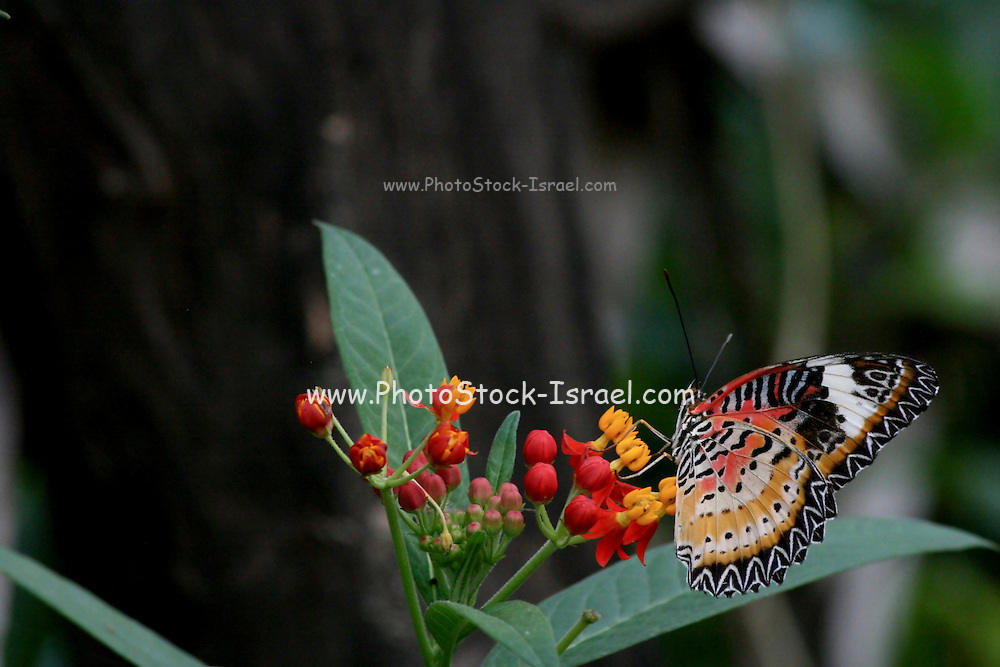 Lacewing butterfly (Cethosia cyane) (AKA Leopard Lacewing). The bright colouration of this butterfly is a warning to prospective predators that it is unpalatable. The caterpillars of this species feed on poisonous Passiflora vines, ingesting toxic chemicals which are retained in the adult insect. It ranges from India to South-East Asia. Photographed in Cambodia