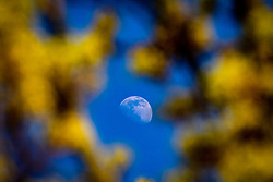 22APR21 The moon seem through trees in the afternoon light, Edinburgh.