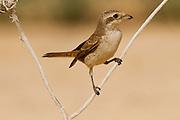 Red-backed Shrike (Lanius collurio) on a branch, negev desert, Israel