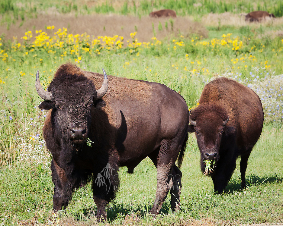 Bison are grazers, with grasses being their favorite food. In fact, their diet consists of ninety–nine percent grass! As residents in a prairie, the bison are quite an attraction, but they actually have an important job to do. As they continually graze on the grasses, they open up space for the forbs (the beautiful flowers) to compete and flourish, creating a lot of plant diversity in the prairie. During a typical day, an adult bison may consume about thirty pounds of grass.