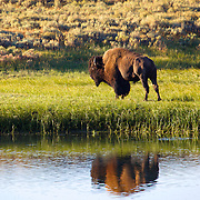 An American bison (aka buffalo) is reflected in the waters of the Yellowstone River in Hayden Valley, Yellowstone National Park, WY