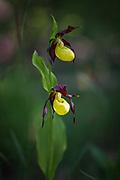 Beautiful and glamorous blooming of Lady's-slipper orchid (Cypripedium calceolus), Kurzeme, Latvia Ⓒ Davis Ulands   davisulands.com