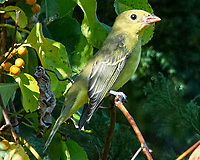 Scarlet Tanager (Piranga olivacea). Image taken with a Nikon D200 camera and 80-400 mm VR lens.