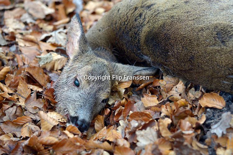 """Een door een jager in de jacht geschoten ree ."""" De jacht dient het behoud en bescherming van het natuurlijke bos ecosysteem, het behoud van gezonde populaties wilde dieren, evenals de afweging van de belangen van de bosbouw en landbouw en het stimuleren van de ontwikkeling van soortenrijke bossen met het streven om wildschade te voorkomen. """"Foto: Flip Franssen"""