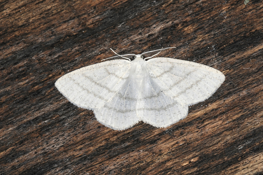 Common White Wave Cabera pusaria Wingspan 25-28mm. A pale and delicate moth that rests with its wings spread flat. Adult has whitish wings marked with three concentric brown cross lines. Flies May-August, with one or two broods. Larva feeds on deciduous trees and shrubs. Widespread and locally common.