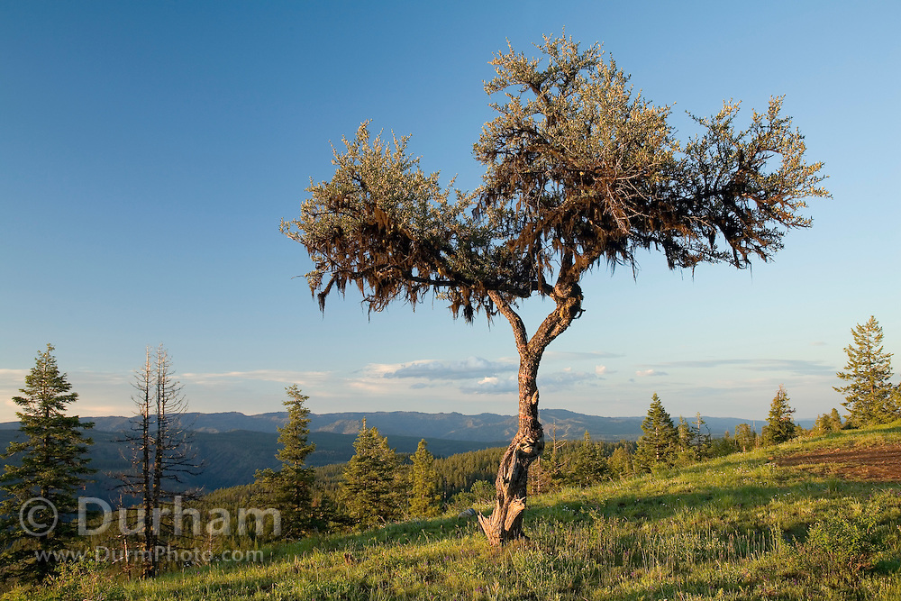 Mountain Mahogany (Cercocarpus ledifolius) photographed on a high ridge. Eden Bench, Wallowa County Oregon.<br /> This shrub is adapted to survive on rocky slopes, ridges and canyons in mostly dry habitats. Its wood is so dense that it sinks in water.