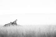 The East African cheetah (Acinonyx jubatus jubatus) looking of the plains of the Serengeti National Park, Tanzania