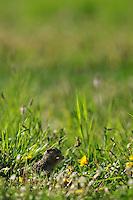 Spotted Souslik (Spermophilus suslicus), Sciuridae family, Sunsilks, Rodent, Werbkowice-Zamosc, Poland
