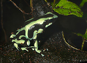 Close-up of a Green and Black Poison Dart Frog or Green and Black Poison Arrow Frog (Dendrobates auratus) in a controlled environment at the Blue Planet reptile house Cheshire